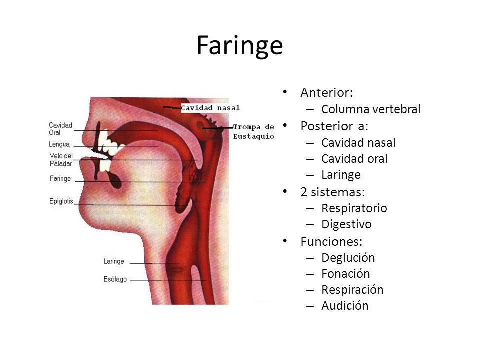 Formaciones adenoides Amígdala faríngea Amígdala tubárica Anillo linfático faríngeo