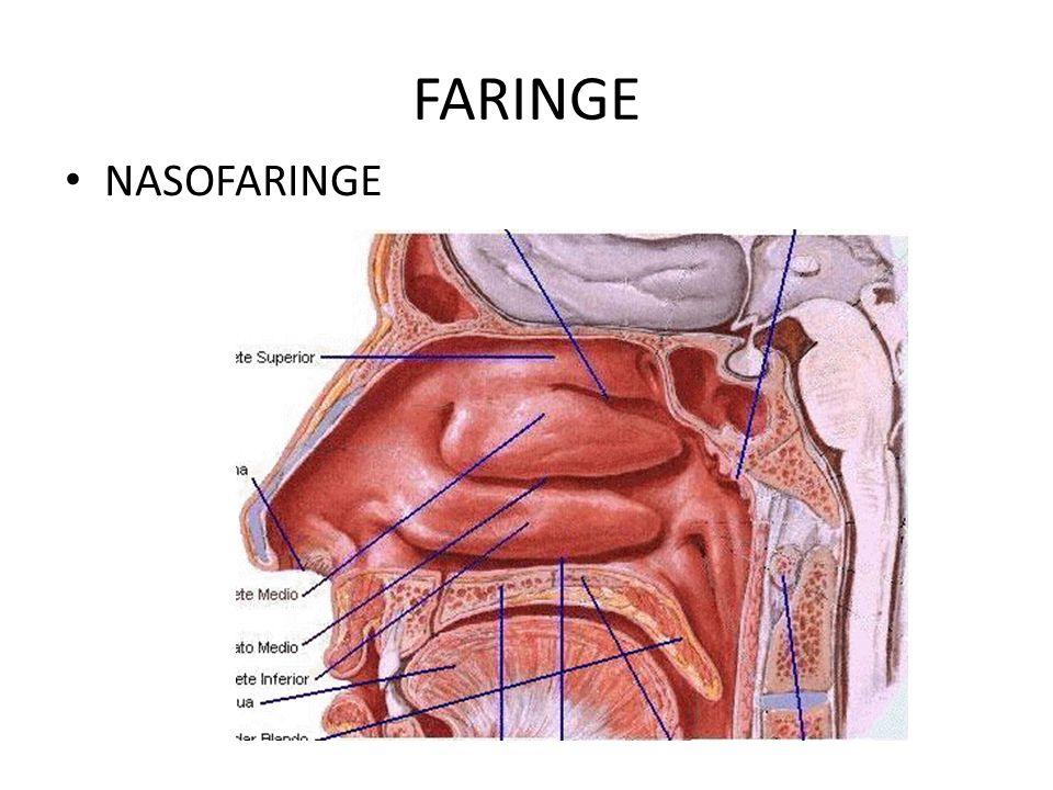 Nasofaringe Pared anterior: – Coanas Pared superior: – Bóveda faríngea – Amígdalas faríngeas Pared posterior Pared lateral: – Desembocadura trompa Eustaquio – Rodete tubárico – Amígdala tubárica