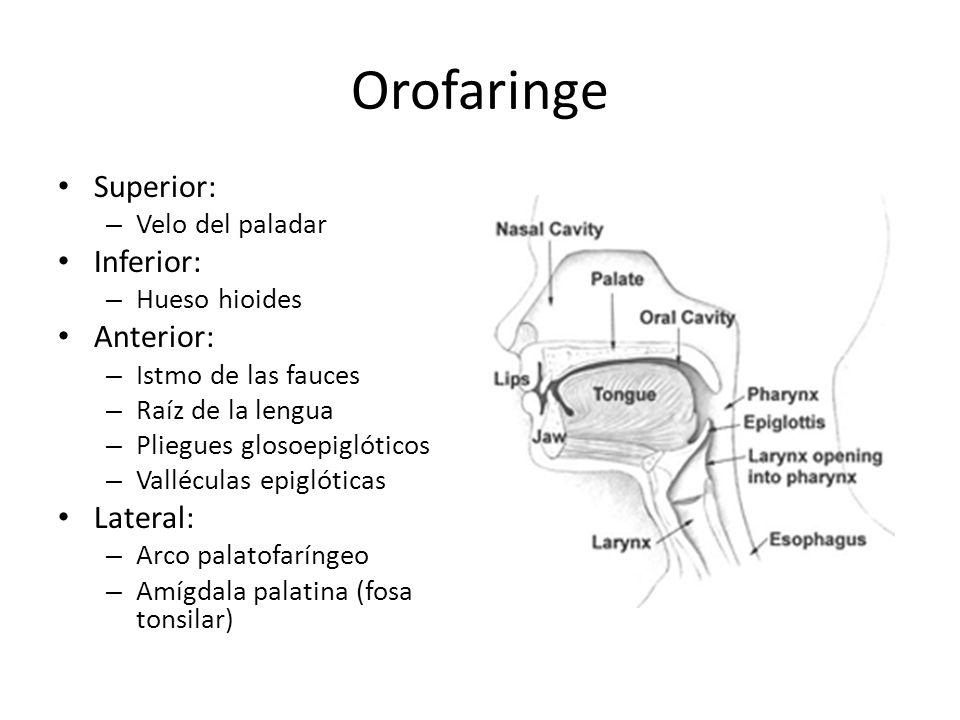 Relaciones de la faringe Arteria carótida común Vena Yugular Nervio vago Nervio laríngeo superior Nervio hipogloso Tronco simpático vertebral Nervio laríngeo recurrente izquierdo