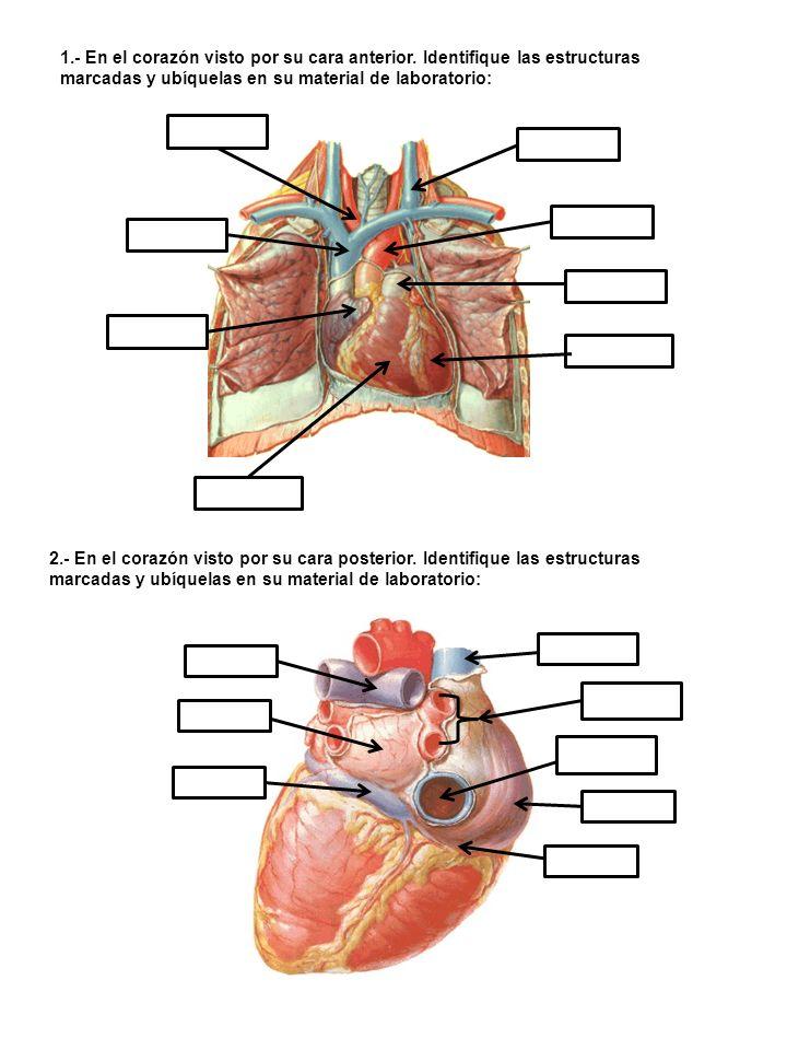 3.- Configuración Interna del corazón.