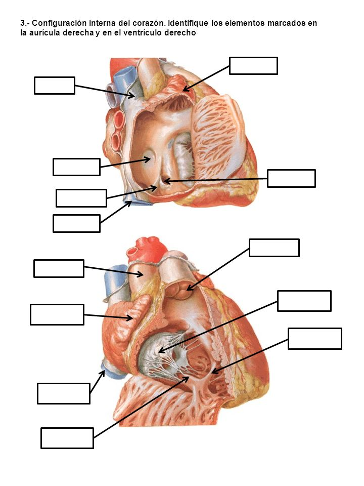 4.- Configuración Interna del corazón.