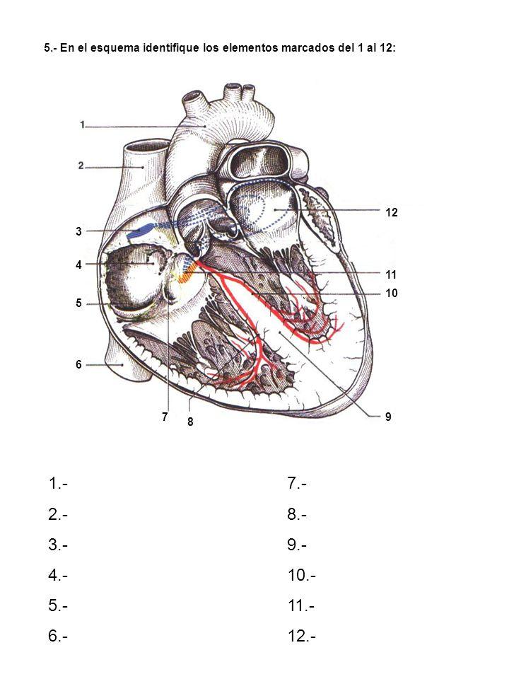 16.- Identifique la formación de la vena Porta hepática y refiérase a su importancia Funcional y ubíquela en su material de laboratorio: