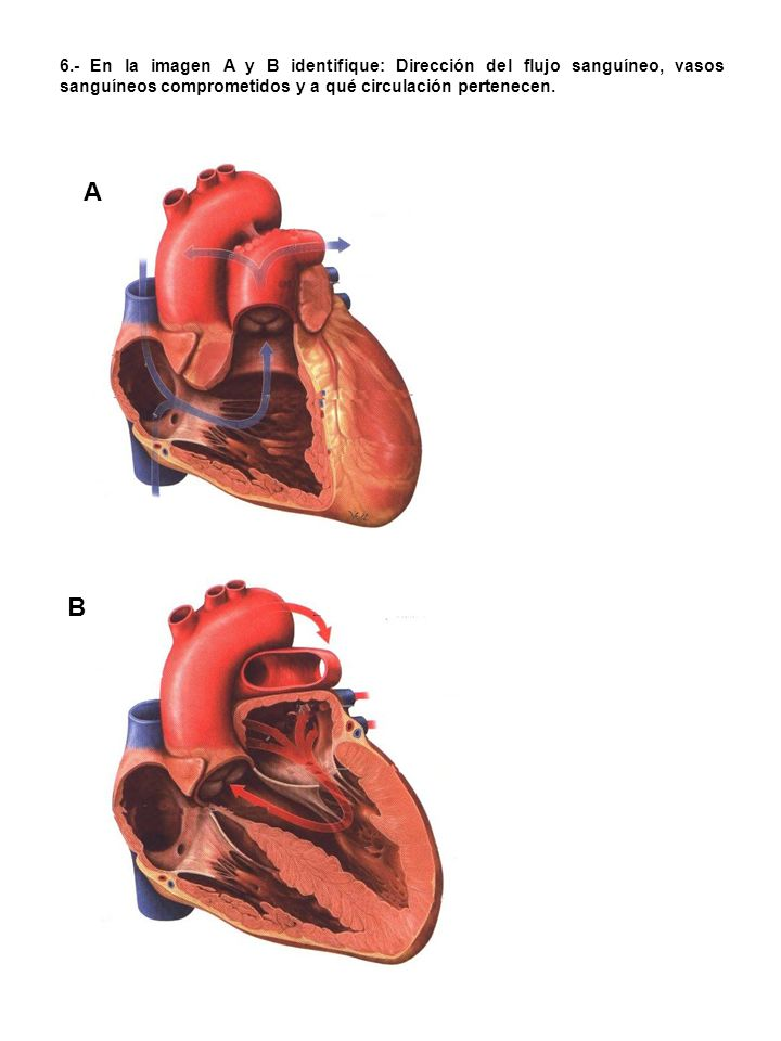 7.- Identifique las arterias señaladas: