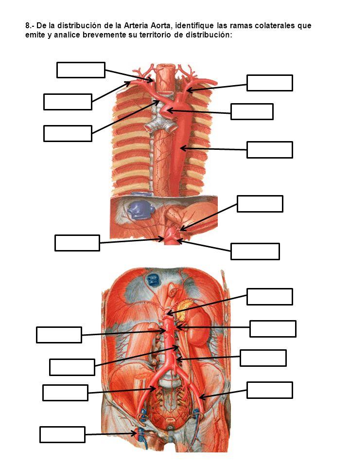 9.- Identifique las arterias señaladas y obsérvelas en sus preparados de laboratorio: