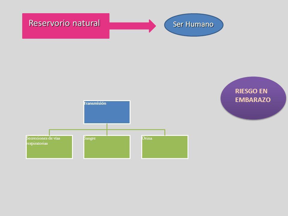 Reservorio natural Ser Humano Transmisión Secreciones de vías respiratorias SangreOrina RIESGO EN EMBARAZO