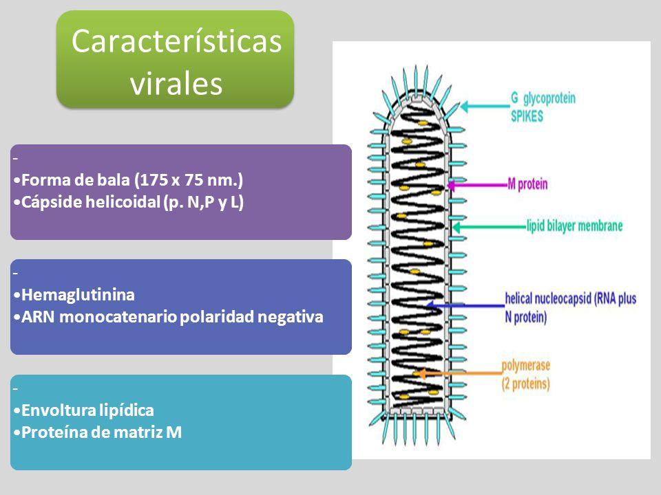 Características virales - Forma de bala (175 x 75 nm.) Cápside helicoidal (p. N,P y L) - Hemaglutinina ARN monocatenario polaridad negativa - Envoltur