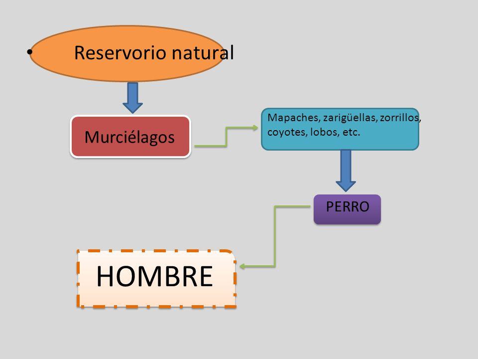 Reservorio natural Murciélagos Mapaches, zarigüellas, zorrillos, coyotes, lobos, etc. PERRO HOMBRE