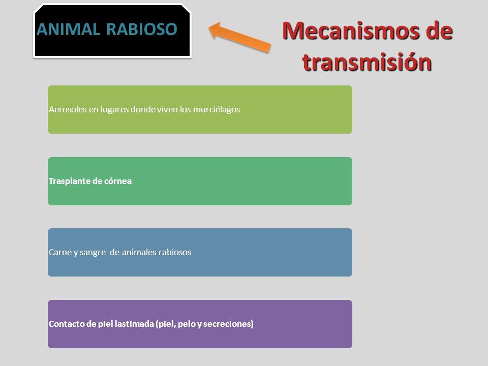 Mecanismos de transmisión Aerosoles en lugares donde viven los murciélagos Trasplante de córnea Carne y sangre de animales rabiosos Contacto de piel l