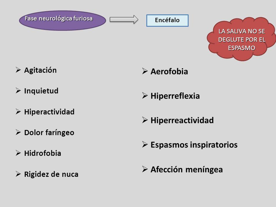 Fase neurológica furiosa Encéfalo Agitación Inquietud Hiperactividad Dolor faríngeo Hidrofobia Rigidez de nuca Aerofobia Hiperreflexia Hiperreactivida