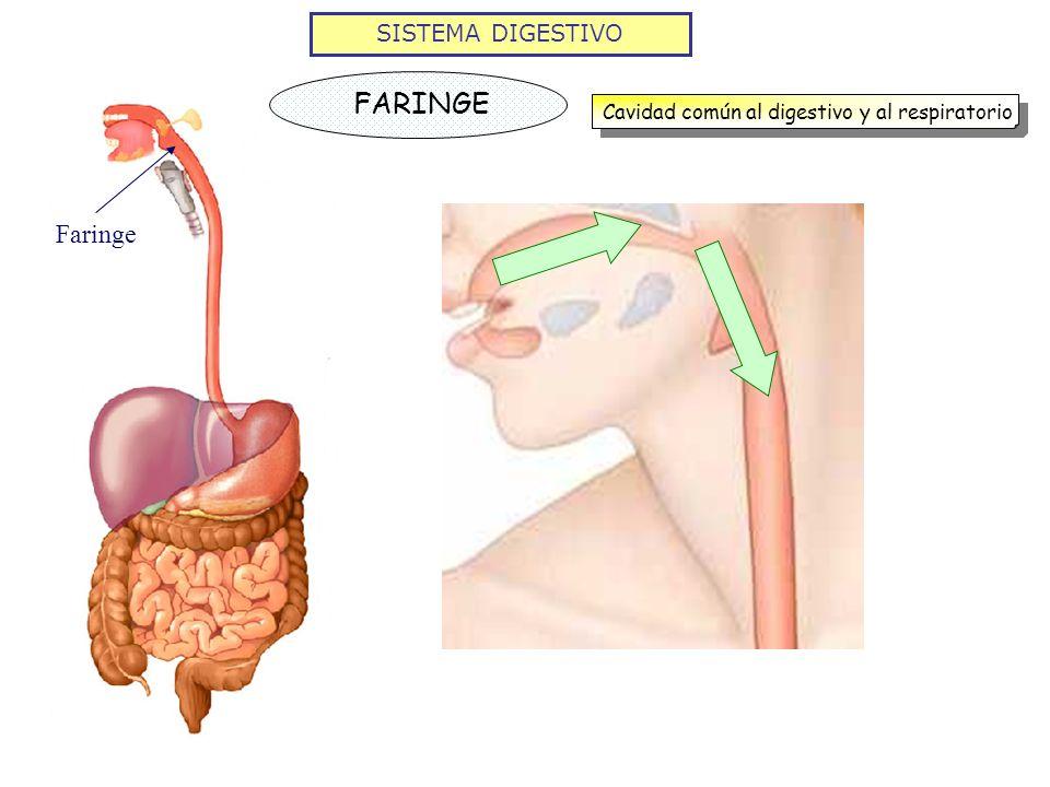 SISTEMA DIGESTIVO FARINGE Cavidad común al digestivo y al respiratorio Faringe