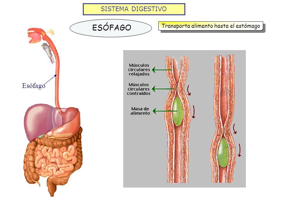 SISTEMA DIGESTIVO ESÓFAGO Transporta alimento hasta el estómago Esófago