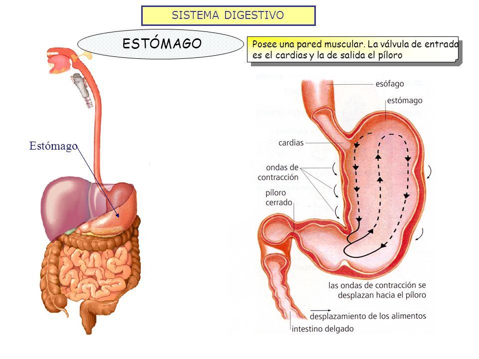 SISTEMA DIGESTIVO ESTÓMAGO Posee una pared muscular. La válvula de entrada es el cardias y la de salida el píloro Estómago