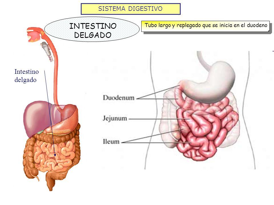SISTEMA DIGESTIVO INTESTINO DELGADO Tubo largo y replegado que se inicia en el duodeno Intestino delgado