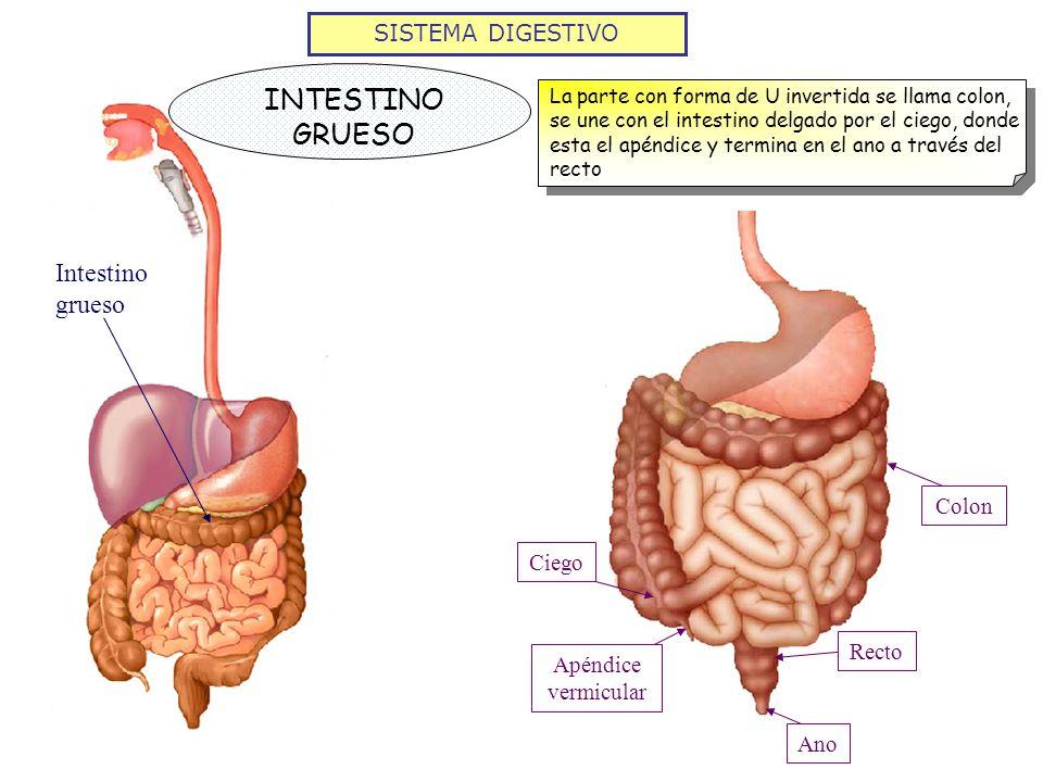 SISTEMA DIGESTIVO INTESTINO GRUESO La parte con forma de U invertida se llama colon, se une con el intestino delgado por el ciego, donde esta el apénd