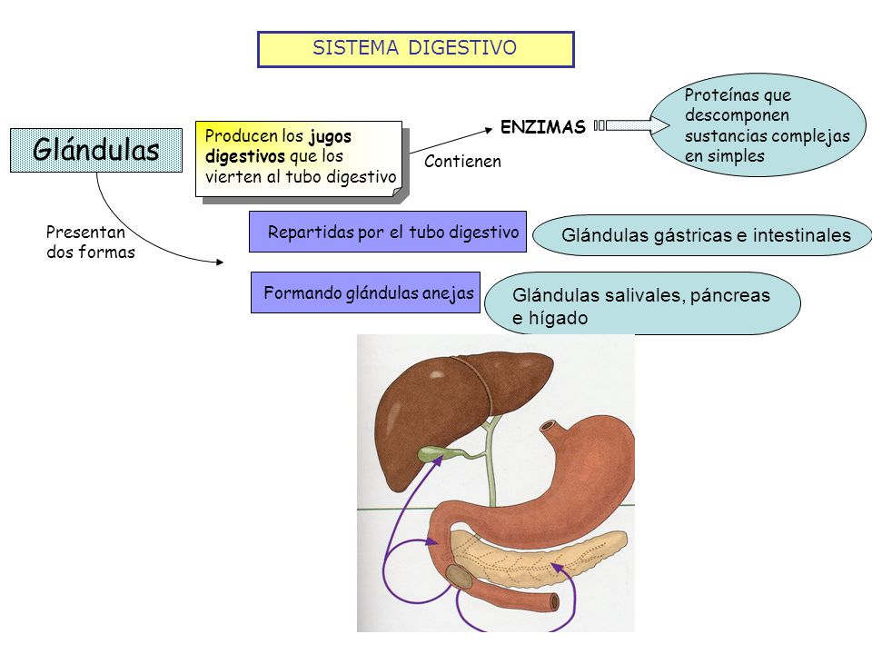 SISTEMA DIGESTIVO Glándulas Proteínas que descomponen sustancias complejas en simples ENZIMAS Contienen Producen los jugos digestivos que los vierten