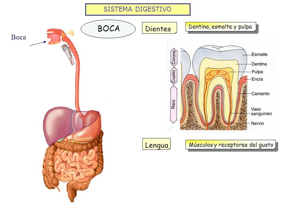 SISTEMA DIGESTIVO Boca BOCA DientesLengua Dentina, esmalte y pulpa Músculos y receptores del gusto