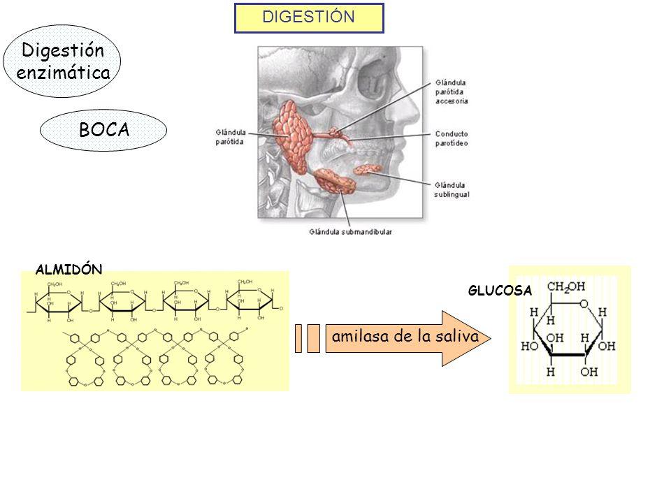DIGESTIÓN Digestión enzimática BOCA ALMIDÓN amilasa de la saliva GLUCOSA