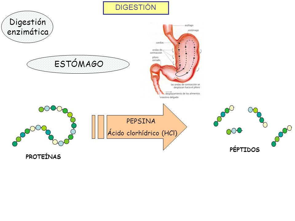 DIGESTIÓN Digestión enzimática ESTÓMAGO PROTEÍNAS PEPSINA Ácido clorhídrico (HCl) PÉPTIDOS