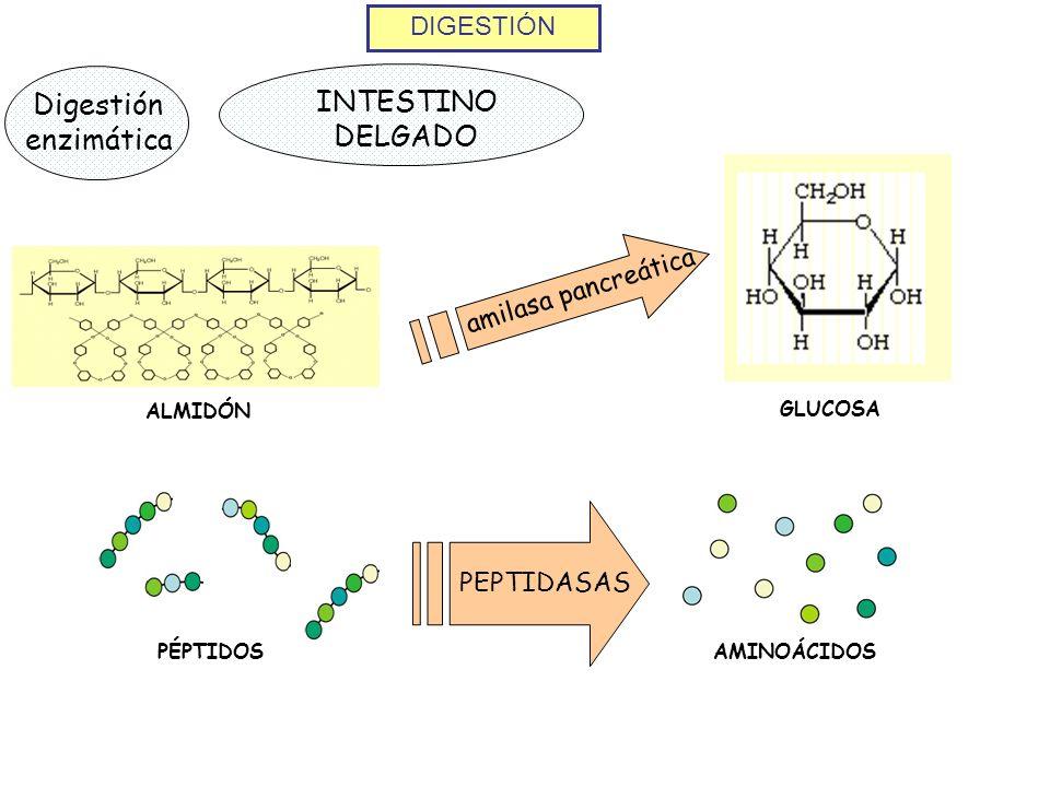 DIGESTIÓN Digestión enzimática INTESTINO DELGADO ALMIDÓN amilasa pancreática GLUCOSA PEPTIDASAS PÉPTIDOS AMINOÁCIDOS