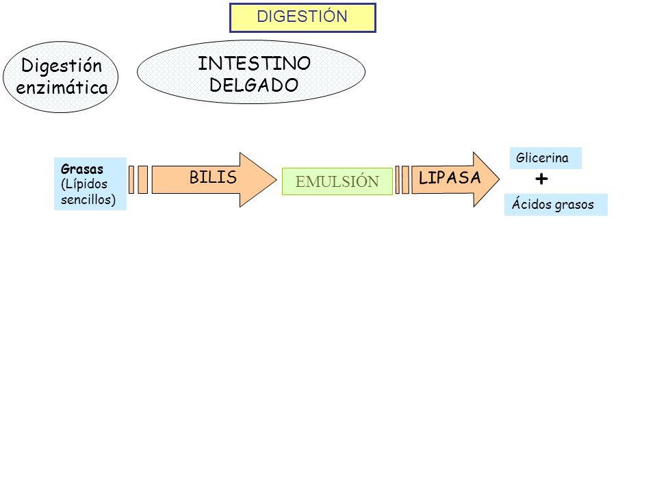 DIGESTIÓN Digestión enzimática INTESTINO DELGADO BILIS Grasas (Lípidos sencillos) EMULSIÓN LIPASA + Glicerina Ácidos grasos