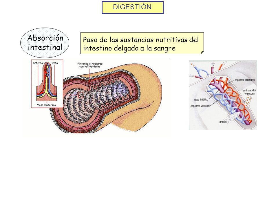 DIGESTIÓN Absorción intestinal Paso de las sustancias nutritivas del intestino delgado a la sangre