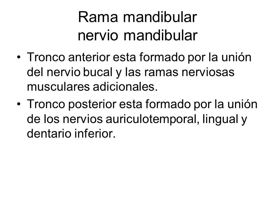 Rama mandibular nervio mandibular Tronco anterior esta formado por la unión del nervio bucal y las ramas nerviosas musculares adicionales. Tronco post