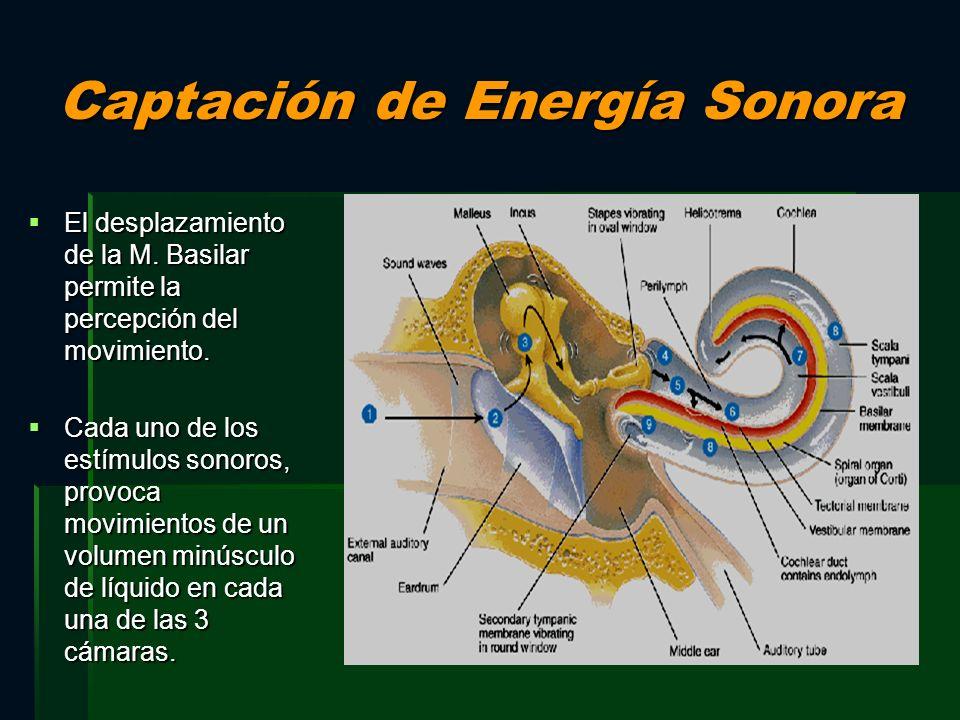 Captación de Energía Sonora El desplazamiento de la M. Basilar permite la percepción del movimiento. El desplazamiento de la M. Basilar permite la per