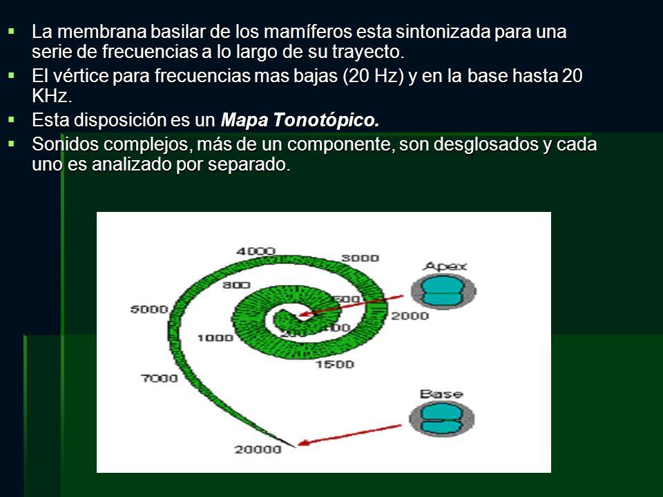 La membrana basilar de los mamíferos esta sintonizada para una serie de frecuencias a lo largo de su trayecto. La membrana basilar de los mamíferos es