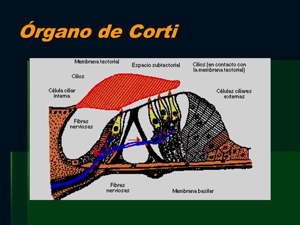 Órgano de Corti