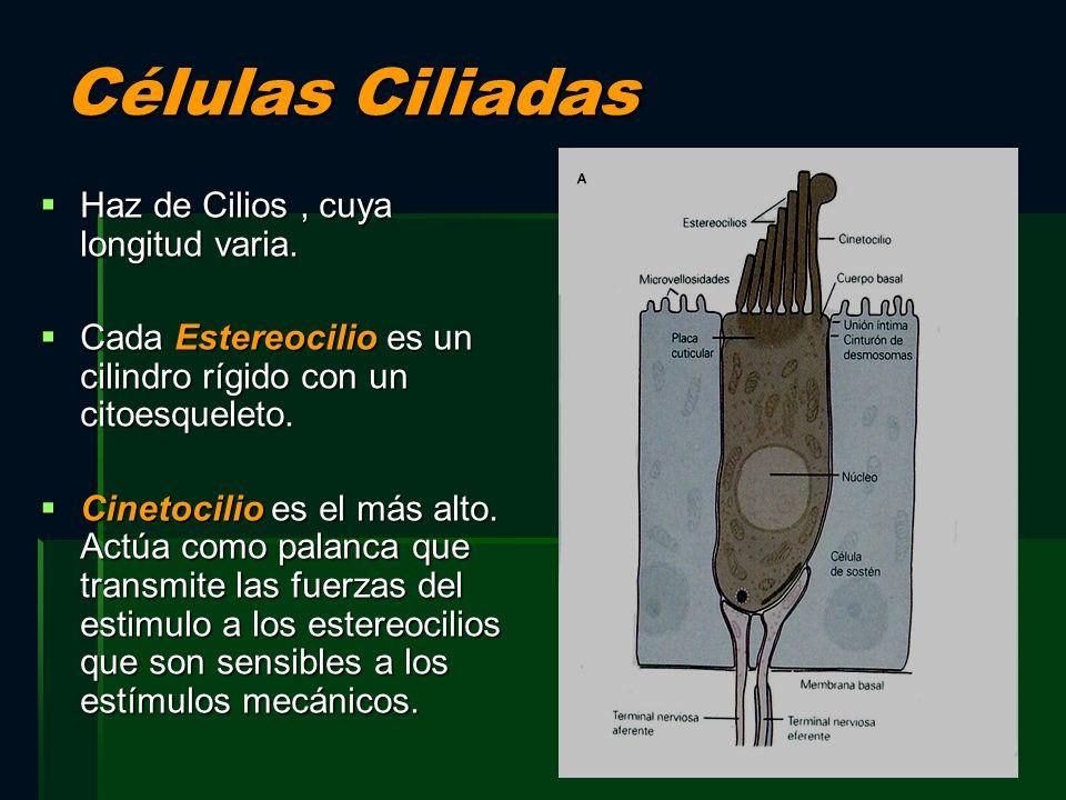 Células Ciliadas Haz de Cilios, cuya longitud varia. Haz de Cilios, cuya longitud varia. Cada Estereocilio es un cilindro rígido con un citoesqueleto.