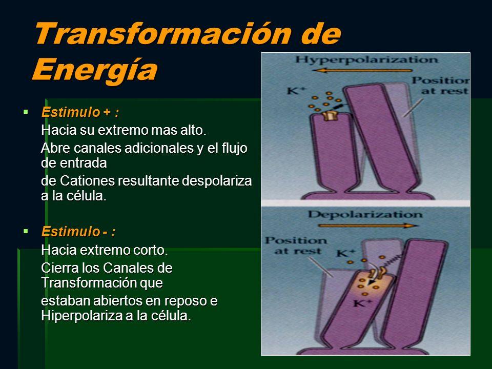 Transformación de Energía Estimulo + : Estimulo + : Hacia su extremo mas alto. Abre canales adicionales y el flujo de entrada de Cationes resultante d