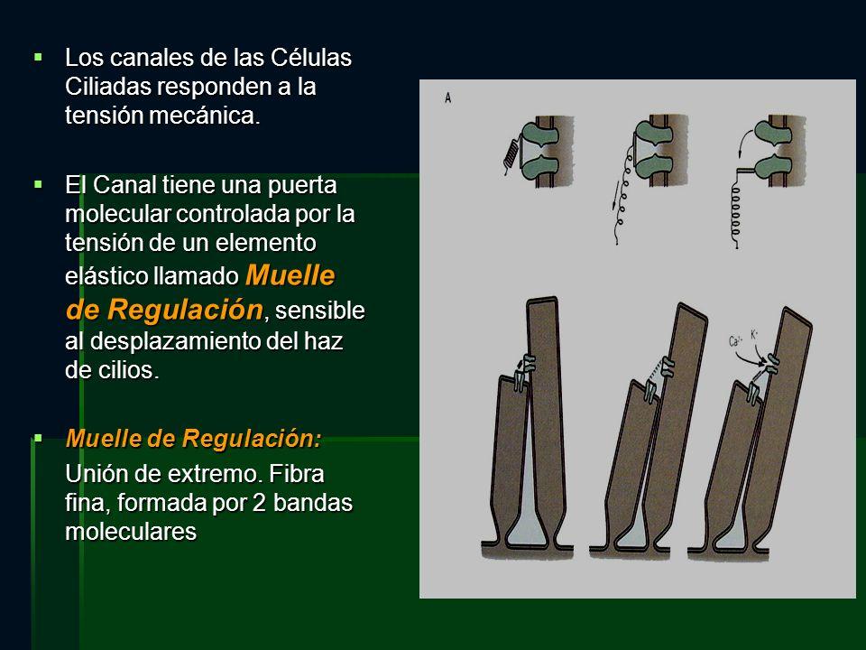 Los canales de las Células Ciliadas responden a la tensión mecánica. Los canales de las Células Ciliadas responden a la tensión mecánica. El Canal tie