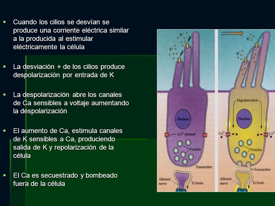 Cuando los cilios se desvían se produce una corriente eléctrica similar a la producida al estimular eléctricamente la célula Cuando los cilios se desv