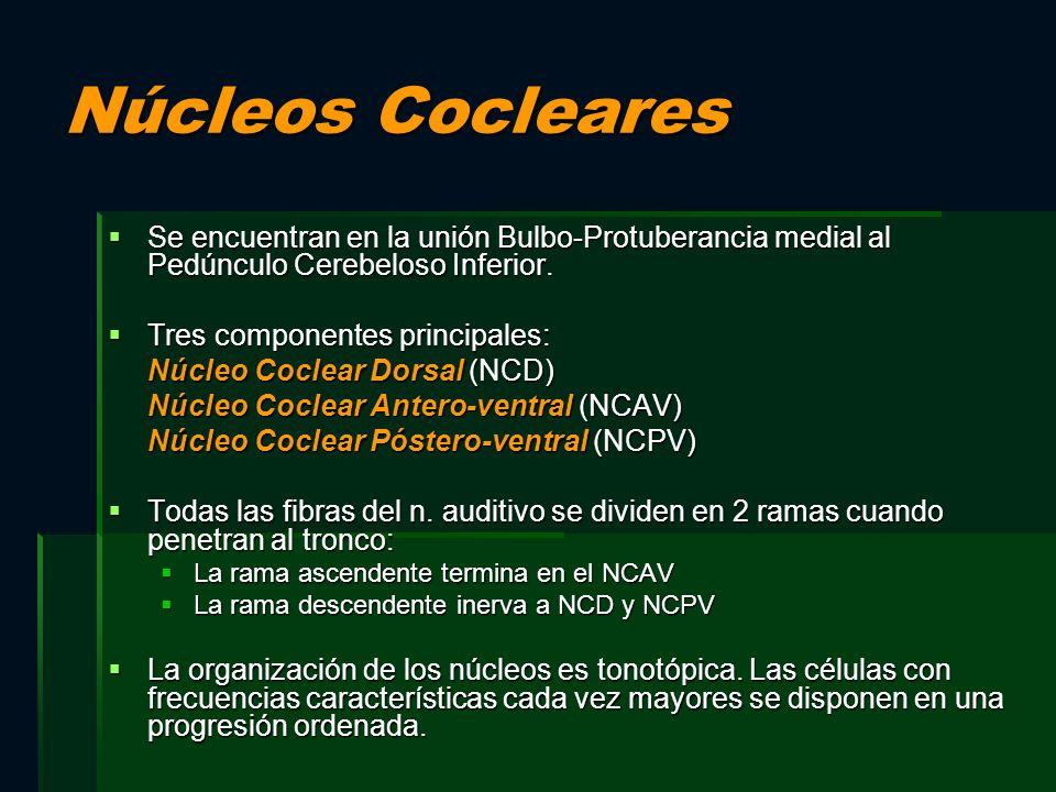 Núcleos Cocleares Se encuentran en la unión Bulbo-Protuberancia medial al Pedúnculo Cerebeloso Inferior. Se encuentran en la unión Bulbo-Protuberancia