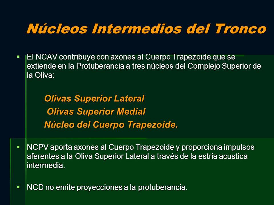 Núcleos Intermedios del Tronco El NCAV contribuye con axones al Cuerpo Trapezoide que se extiende en la Protuberancia a tres núcleos del Complejo Supe