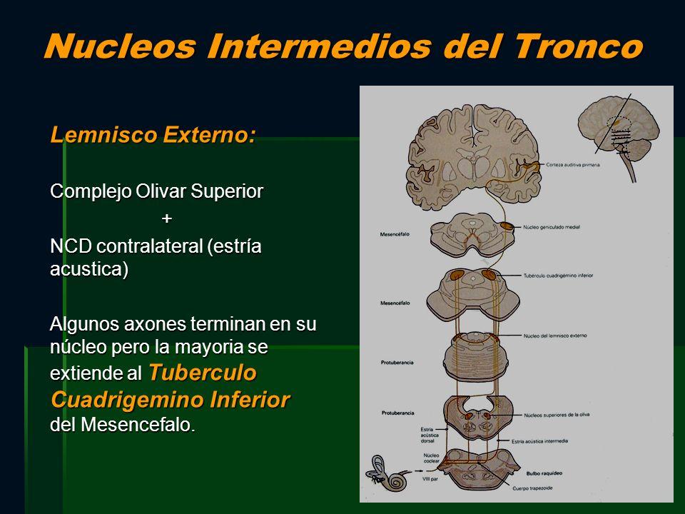 Nucleos Intermedios del Tronco Lemnisco Externo: Complejo Olivar Superior + NCD contralateral (estría acustica) Algunos axones terminan en su núcleo p