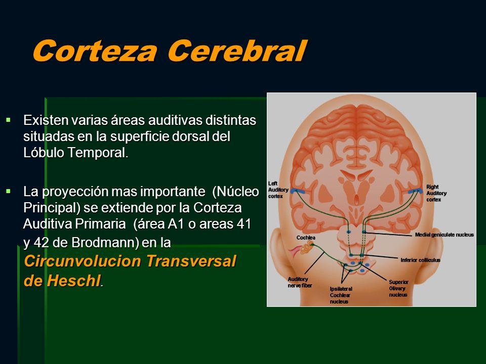 Corteza Cerebral Existen varias áreas auditivas distintas situadas en la superficie dorsal del Lóbulo Temporal. Existen varias áreas auditivas distint