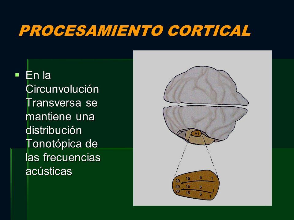 PROCESAMIENTO CORTICAL En la Circunvolución Transversa se mantiene una distribución Tonotópica de las frecuencias acústicas En la Circunvolución Trans