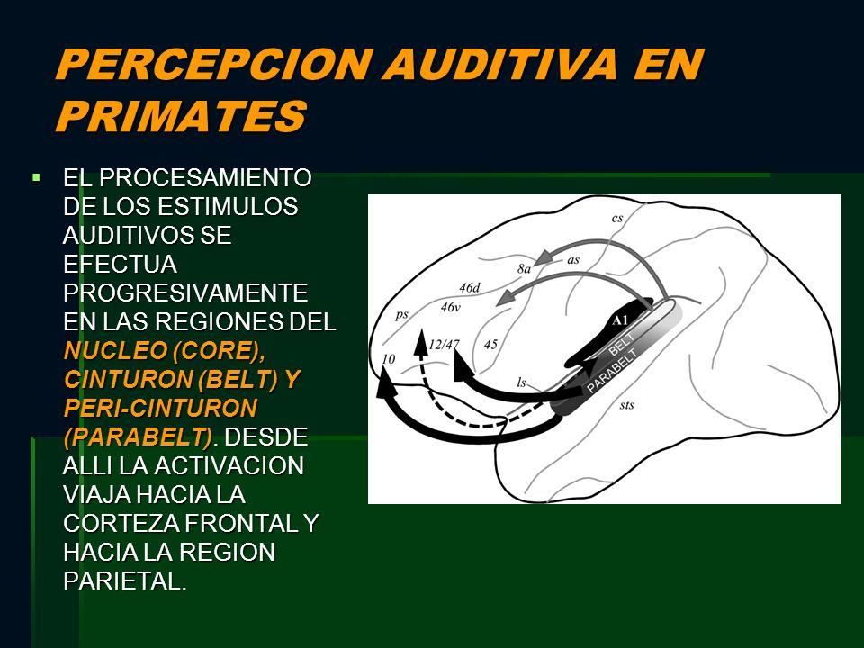 PERCEPCION AUDITIVA EN PRIMATES EL PROCESAMIENTO DE LOS ESTIMULOS AUDITIVOS SE EFECTUA PROGRESIVAMENTE EN LAS REGIONES DEL NUCLEO (CORE), CINTURON (BE