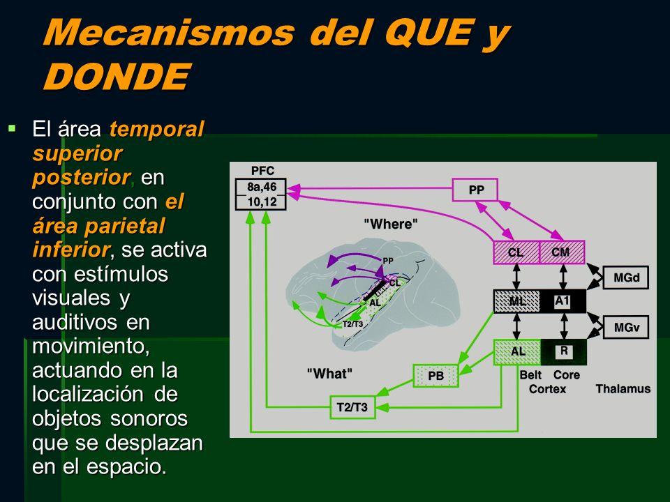 Mecanismos del QUE y DONDE El área temporal superior posterior, en conjunto con el área parietal inferior, se activa con estímulos visuales y auditivo