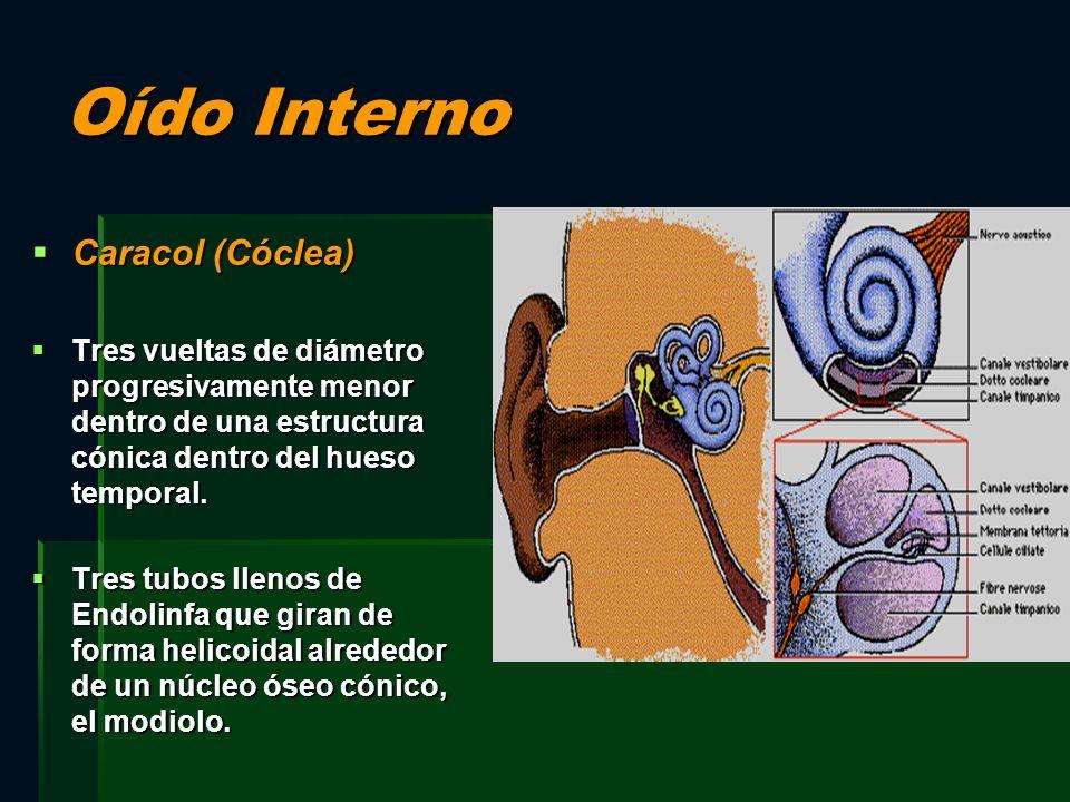 Oído Interno Caracol (Cóclea) Caracol (Cóclea) Tres vueltas de diámetro progresivamente menor dentro de una estructura cónica dentro del hueso tempora