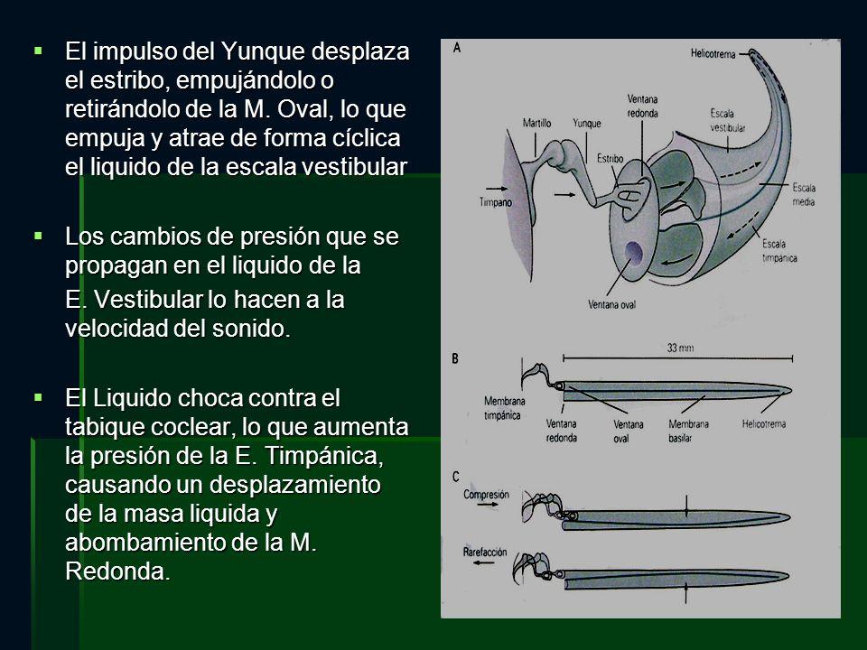 El impulso del Yunque desplaza el estribo, empujándolo o retirándolo de la M. Oval, lo que empuja y atrae de forma cíclica el liquido de la escala ves