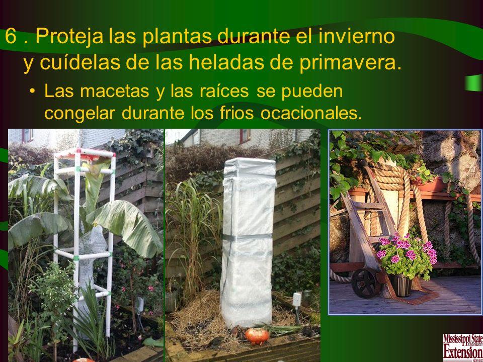 6. Proteja las plantas durante el invierno y cuídelas de las heladas de primavera. Las macetas y las raíces se pueden congelar durante los frios ocaci