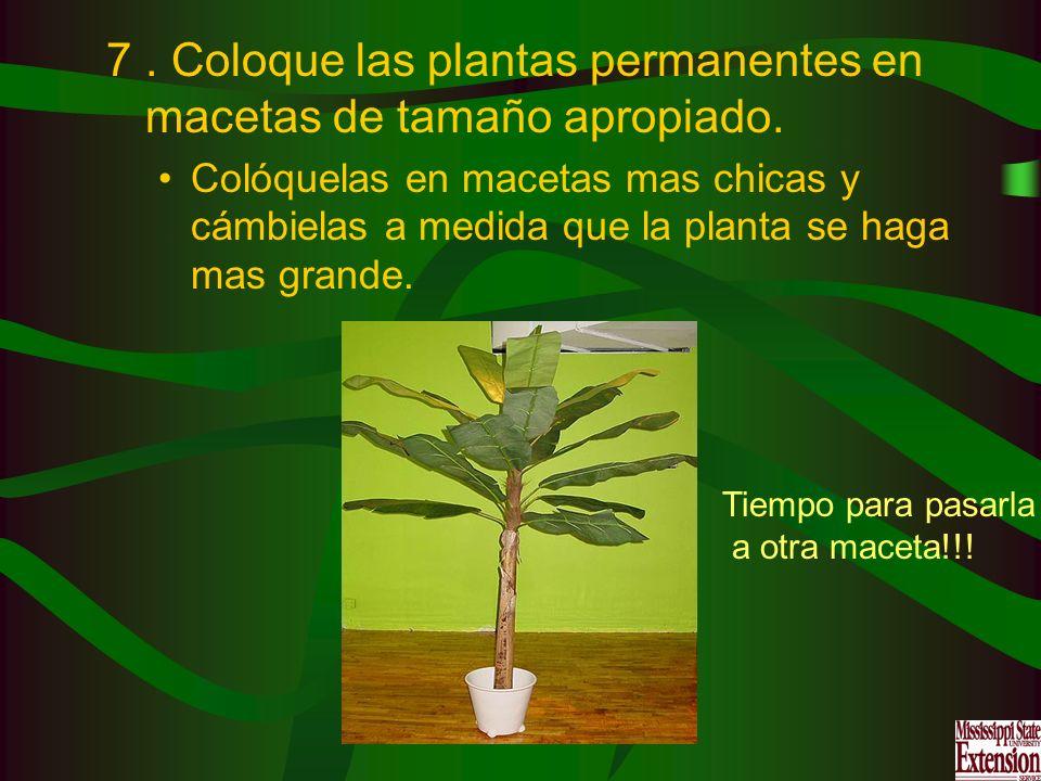 7. Coloque las plantas permanentes en macetas de tamaño apropiado. Colóquelas en macetas mas chicas y cámbielas a medida que la planta se haga mas gra