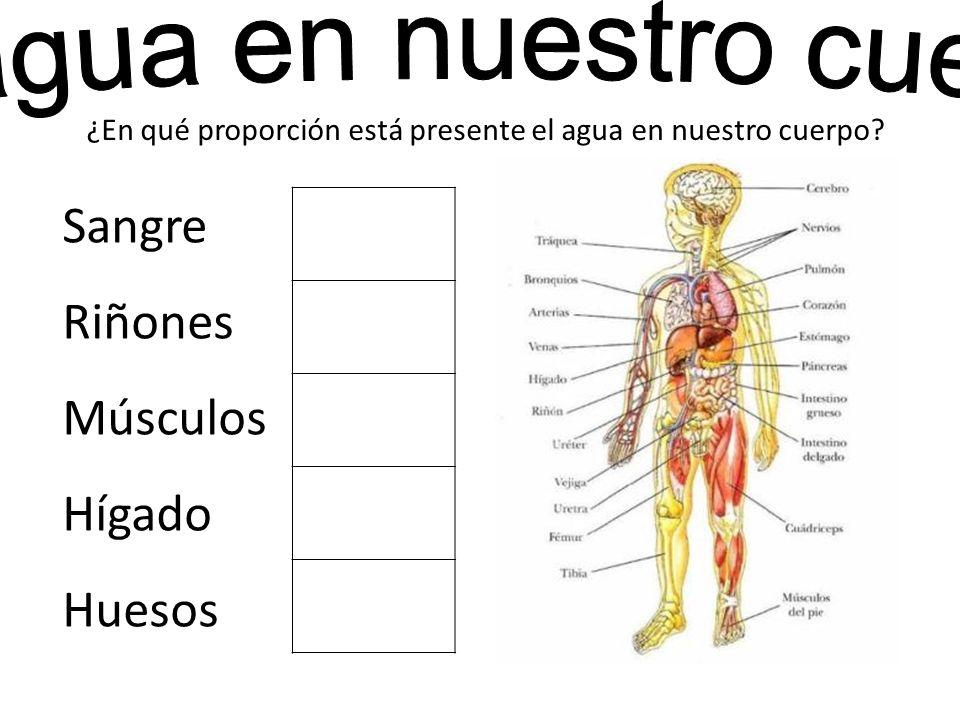 ¿En qué proporción está presente el agua en nuestro cuerpo? Sangre Riñones Músculos Hígado Huesos