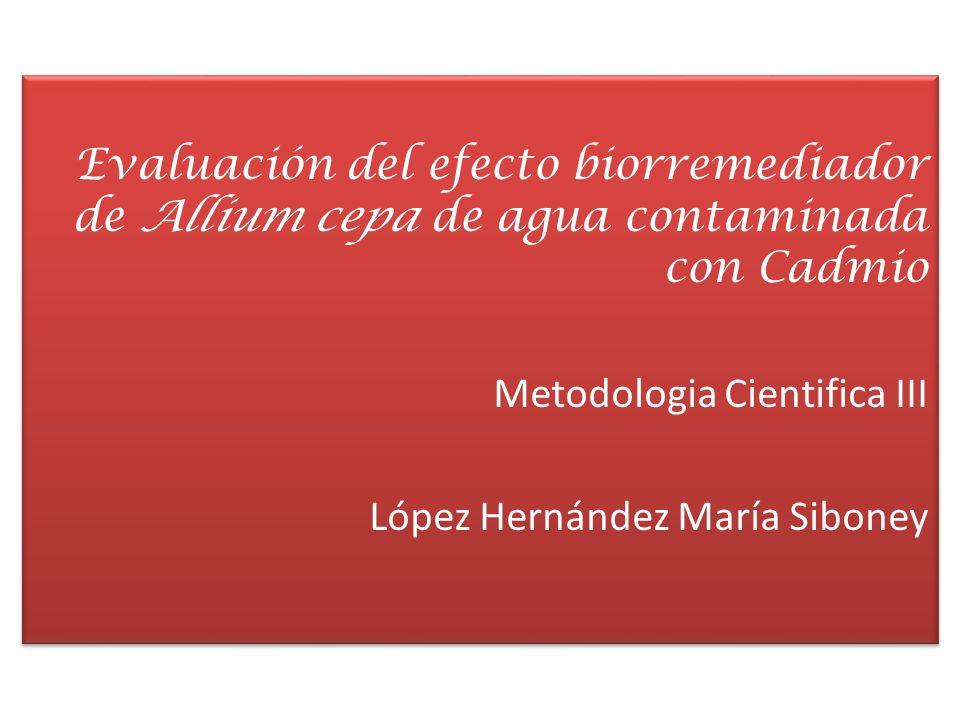 Evaluación del efecto biorremediador de Allium cepa de agua contaminada con Cadmio Metodologia Cientifica III López Hernández María Siboney Evaluación
