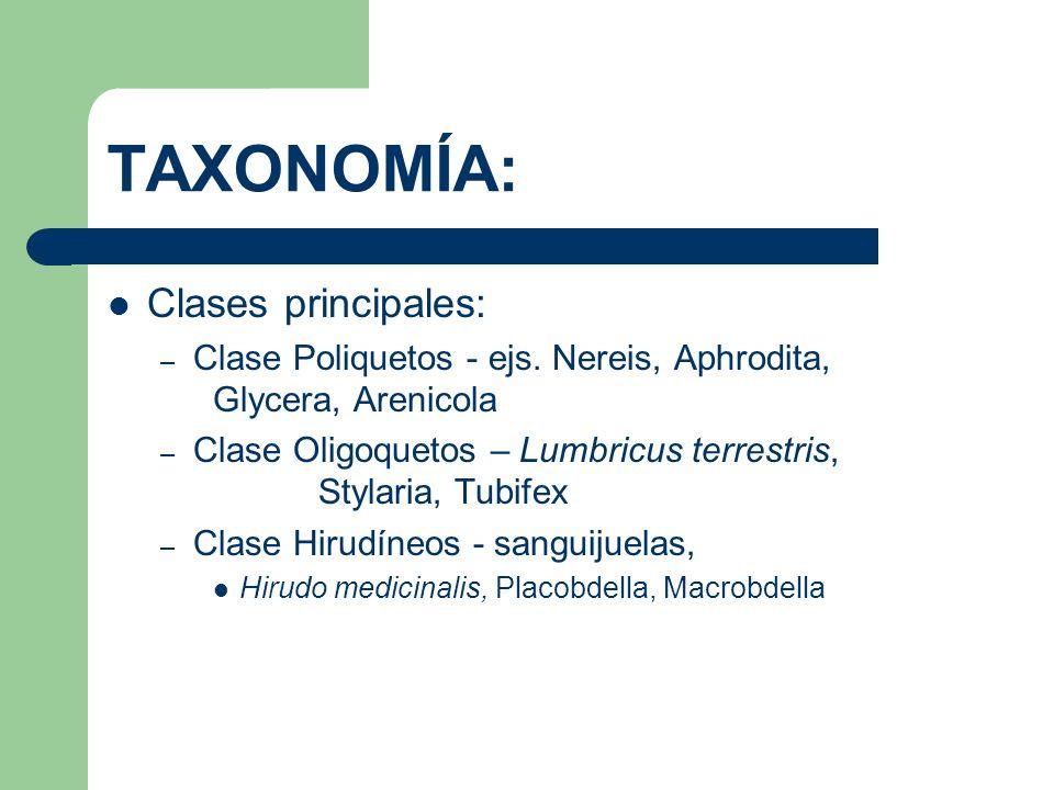 TAXONOMÍA: Clases principales: – Clase Poliquetos - ejs. Nereis, Aphrodita, Glycera, Arenicola – Clase Oligoquetos – Lumbricus terrestris, Stylaria, T