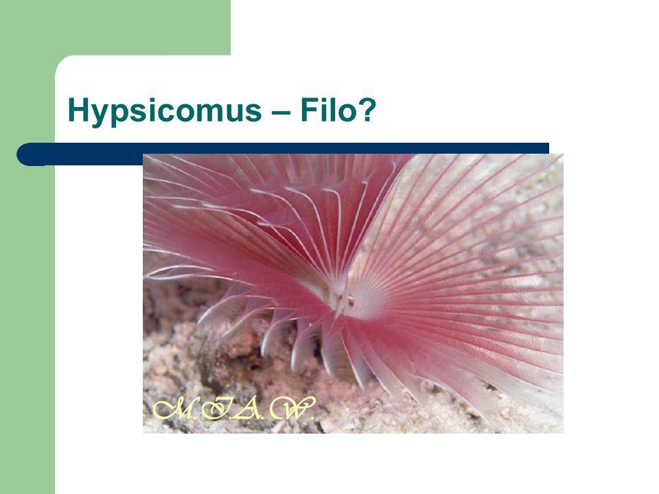 Hypsicomus – Filo?