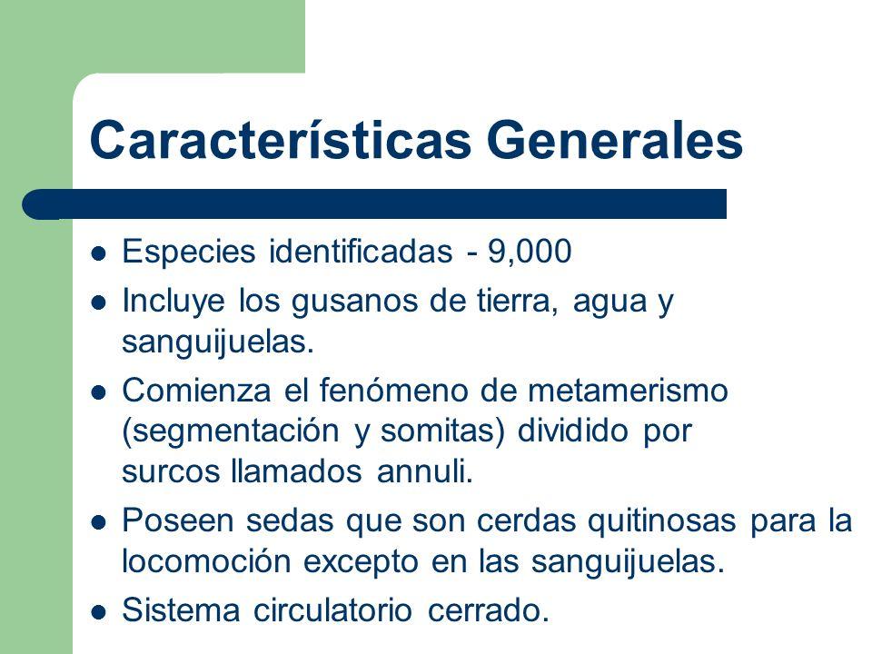 Características Generales Especies identificadas - 9,000 Incluye los gusanos de tierra, agua y sanguijuelas. Comienza el fenómeno de metamerismo (segm