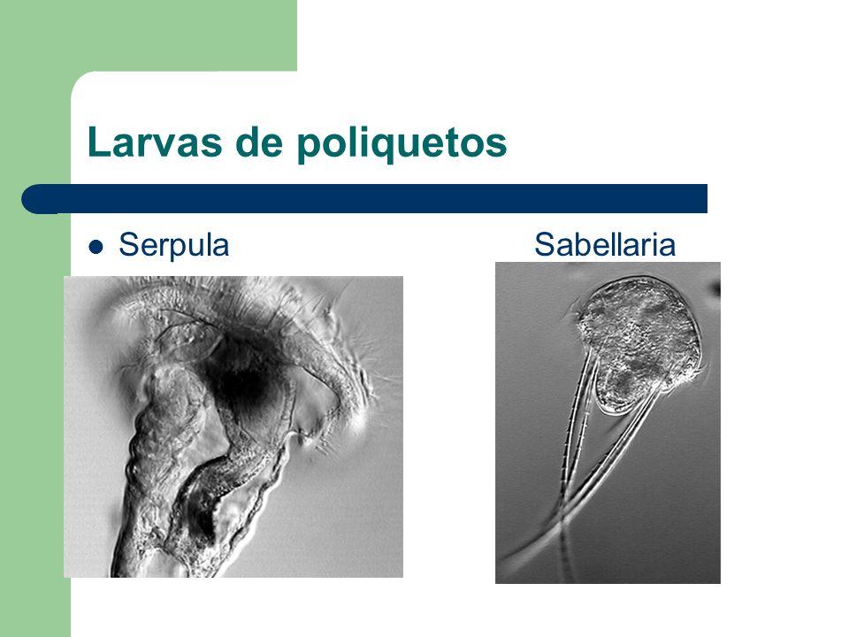 Larvas de poliquetos Serpula Sabellaria